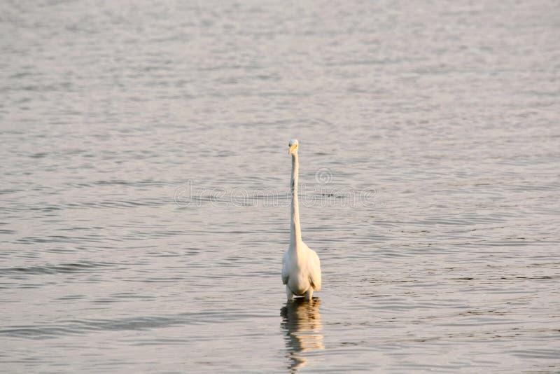 La gran garceta blanca vadea en bahía en la salida del sol imagen de archivo libre de regalías