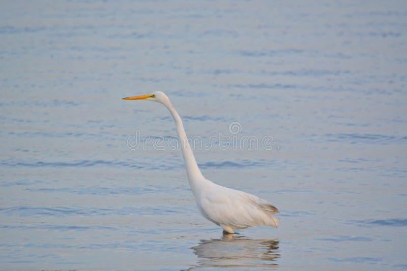 La gran garceta blanca vadea en bahía en la salida del sol fotos de archivo libres de regalías