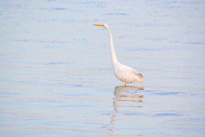 La gran garceta blanca vadea en bahía en la salida del sol fotos de archivo