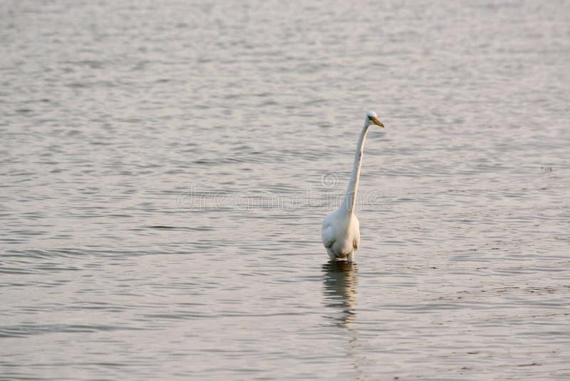 La gran garceta blanca vadea en bahía en la salida del sol imagen de archivo