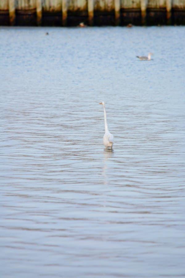 La gran garceta blanca vadea en bahía en la salida del sol fotografía de archivo