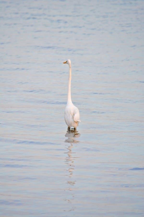 La gran garceta blanca vadea en bahía en la salida del sol imágenes de archivo libres de regalías