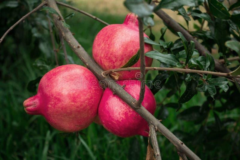 La granada roja es la fruta del árbol llamó la granada imagen de archivo libre de regalías