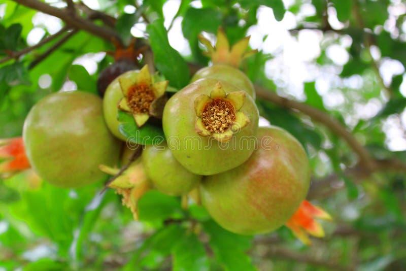 La granada roja esta fruta tiene una piel gruesa que vaya de amarillo de oro al escarlata y dentro de las semillas son rodeados p fotografía de archivo