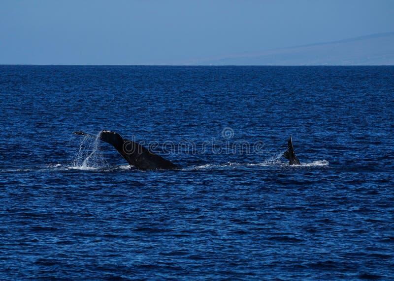 La grande baleine de bosse roulant autour tandis que c'est bébé est radiodétection à basculement de diagramme de queue photos libres de droits
