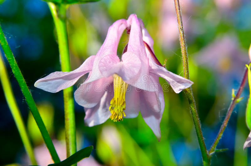 La grande campana rosa del fiore si sviluppa di estate in giardino immagini stock libere da diritti