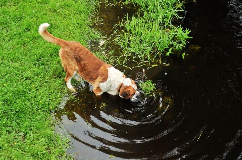 La grande eau de boissons de crabot photo libre de droits