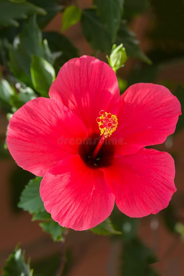 La grande fleur rose lumineuse de la ketmie pourpre de ketmie s'est levée sinensis sur les feuilles vertes fond naturel, vertical photo stock