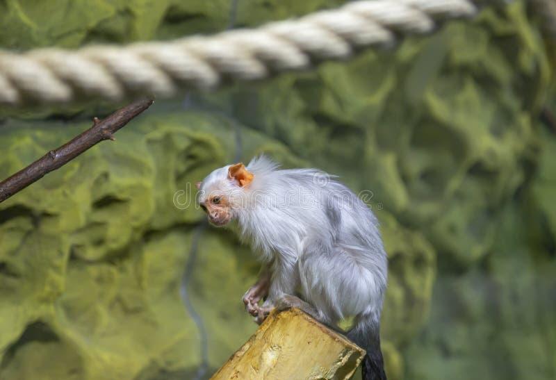 La grande image d'un petit singe, plan rapproché photographie stock libre de droits