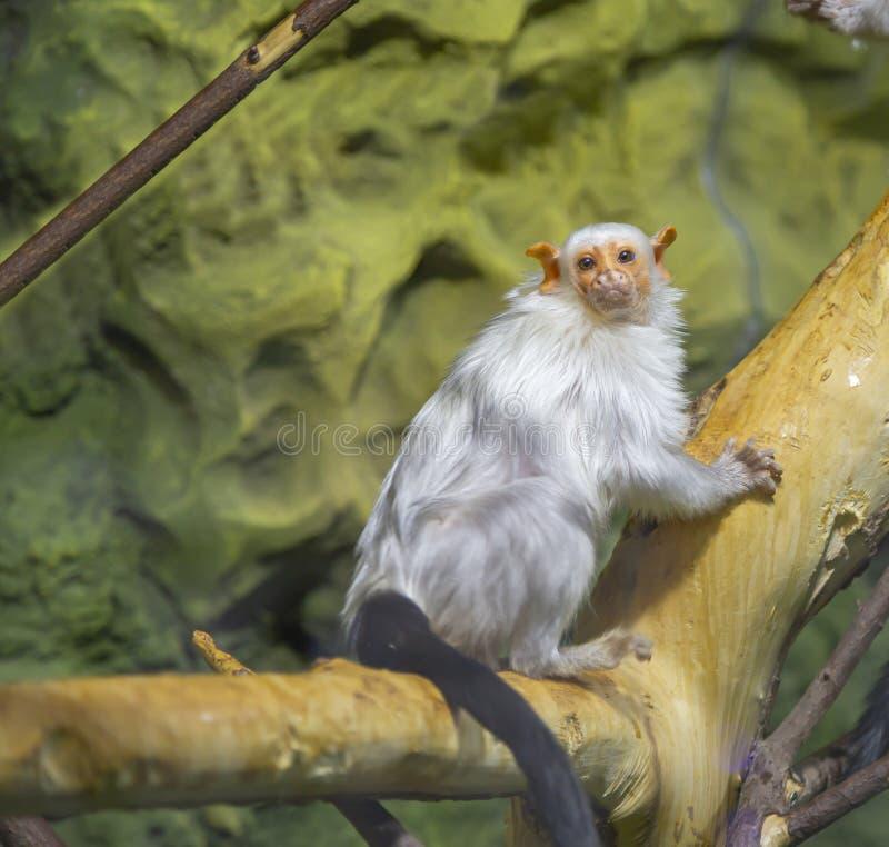 La grande image d'un petit singe, plan rapproché photos stock