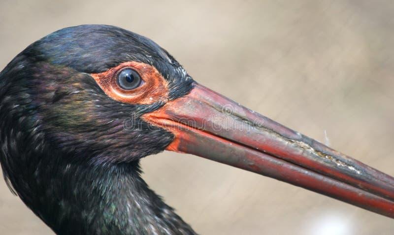 La grande image d'une cigogne noire photos stock