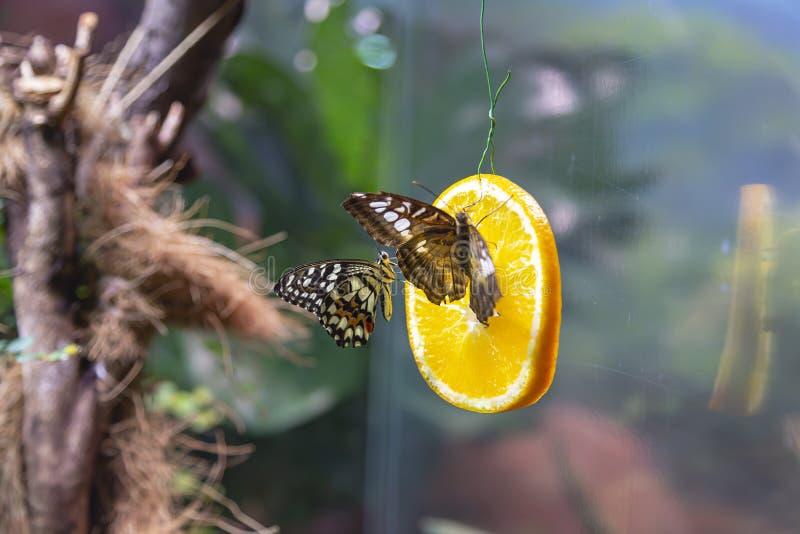 La grande image du papillon lumineux multicolore dans des conditions naturelles photo stock
