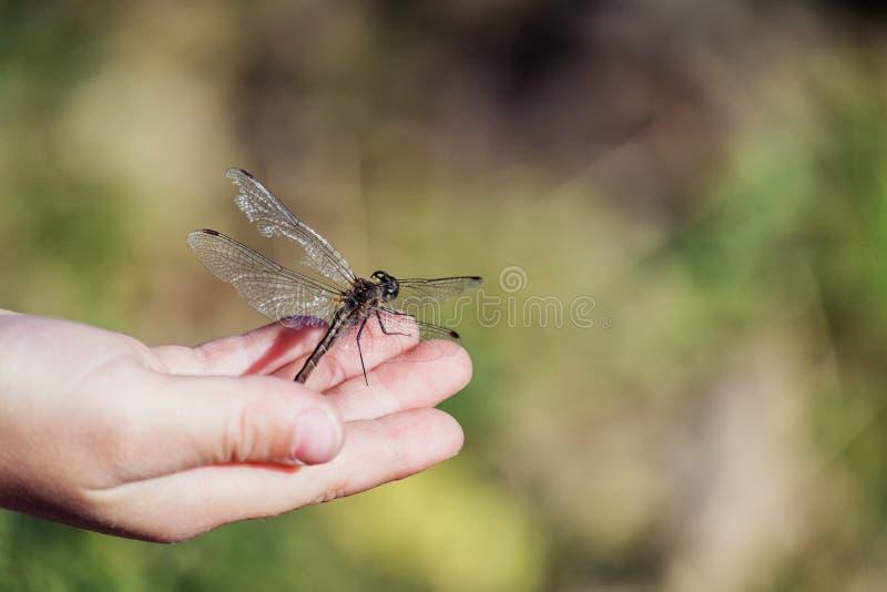 La grande libellule avec l'aile déchirée se repose sur la paume de l'enfant photos libres de droits