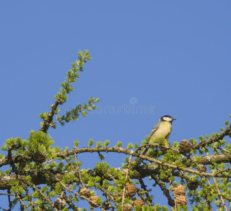 La grande mésange l'oiseau principal de grand Parus de mésange se reposant sur la branche d'arbre luxuriante de mélèze de vert de photographie stock libre de droits