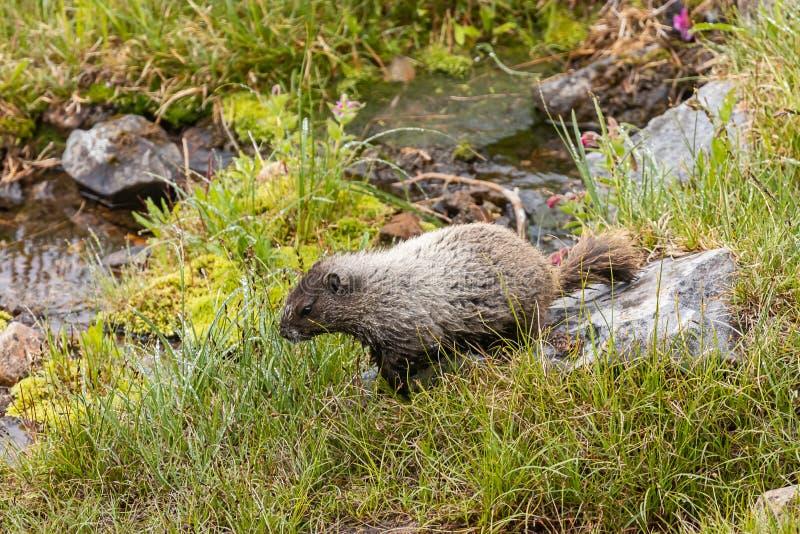 la grande marmotte marche près de la piscine d'eau dans le pré image stock