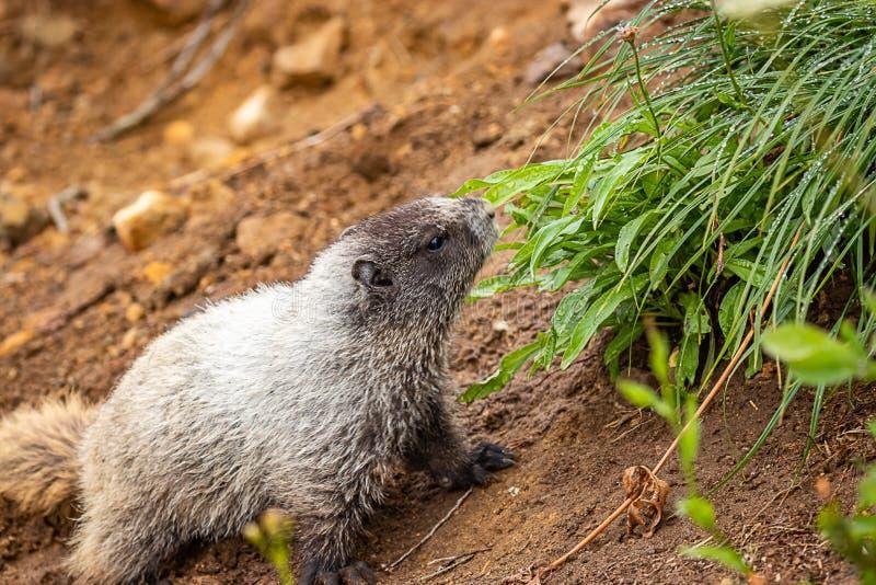 la grande marmotte relève la terre rocheuse vers l'herbe verte images libres de droits