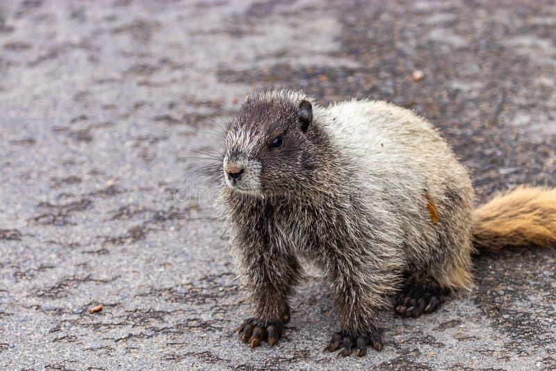 la grande marmotte se repose le jour pavé de route en août image stock