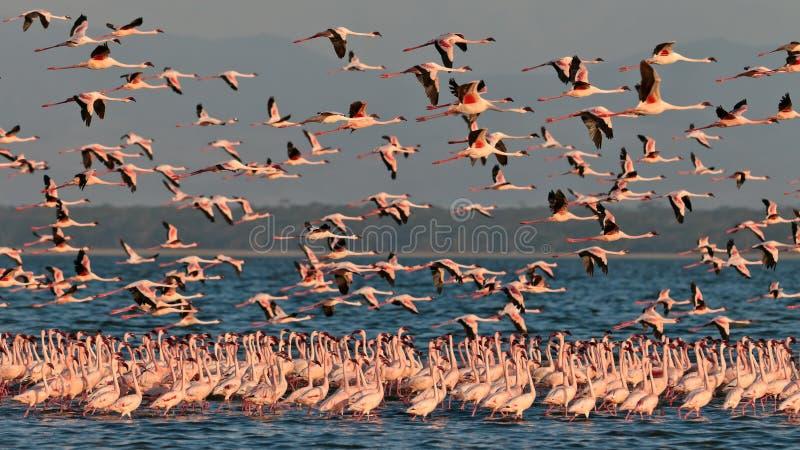 La grande moltitudine dentella le mosche dei fenicotteri sopra il lago immagine stock libera da diritti