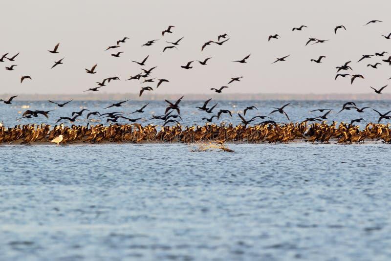 La grande moltitudine di cormorani del commom si siede sulla terra e sulla presa di immagine stock libera da diritti
