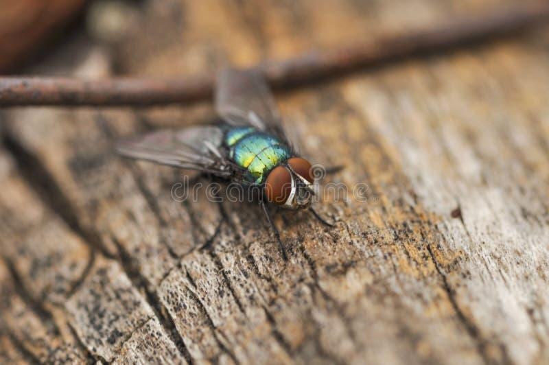 La grande mosca verde sta stando su un albero e sta aspettando per volare insetto esterno fotografie stock
