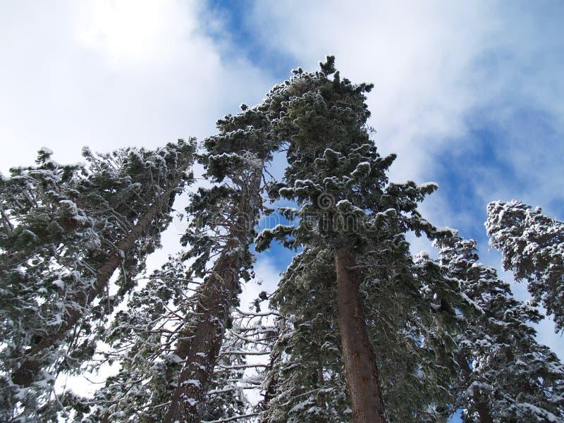 La grande neige a couvert des sapins de Douglas photos libres de droits