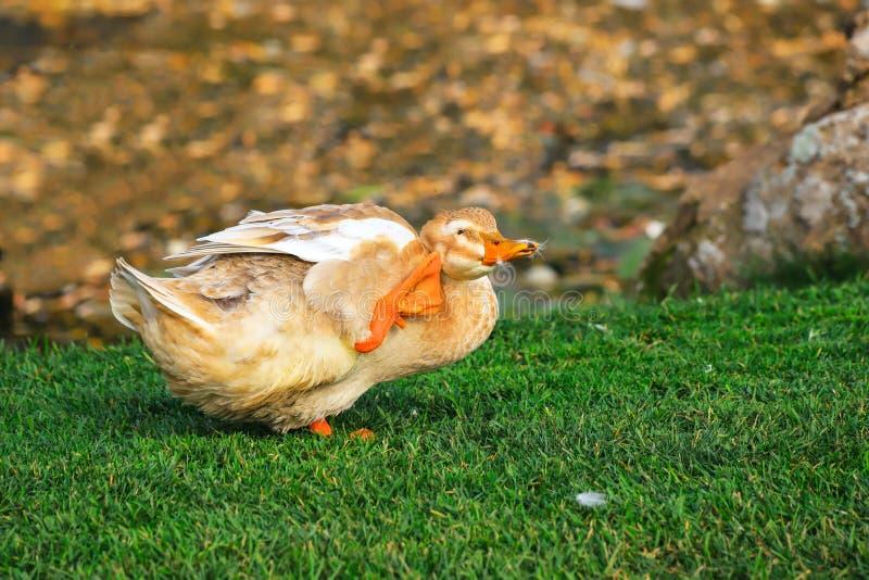 La grande oie jaune drôle raye sa tête sur une pelouse verte à une ferme Volaille dans le village, oiseaux de waterfow images stock
