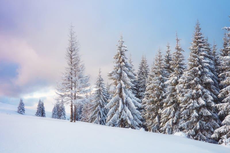 La grande photo d'hiver en montagnes carpathiennes avec la neige a couvert des sapins Scène extérieure colorée, bonne année image libre de droits