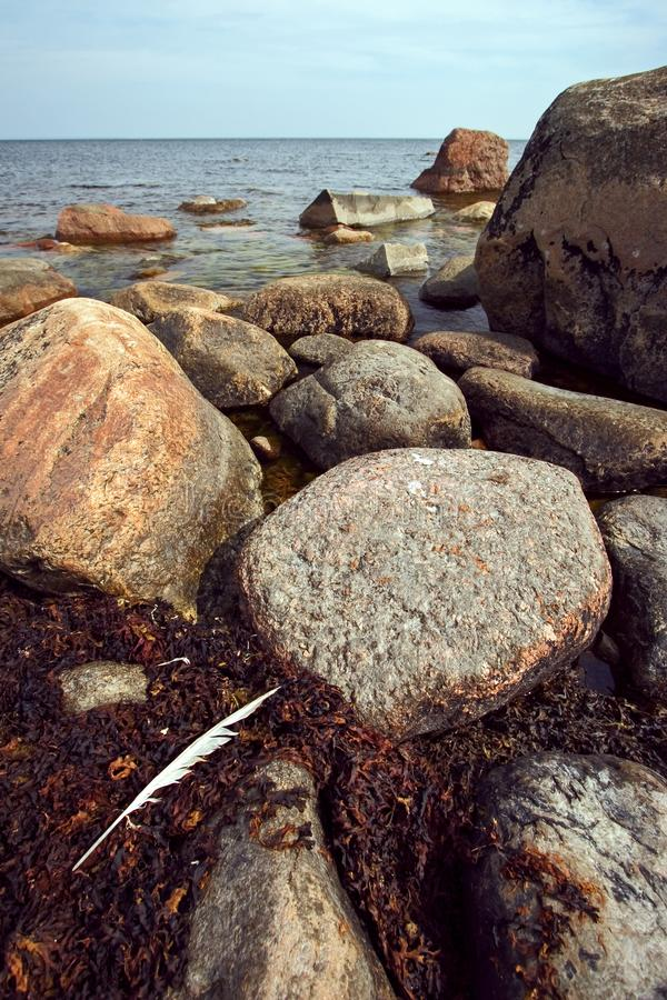 La grande piuma lunga bianca delle bugie di un uccello sulle alghe brune fra le pietre nel golfo di Finlandia immagine stock libera da diritti