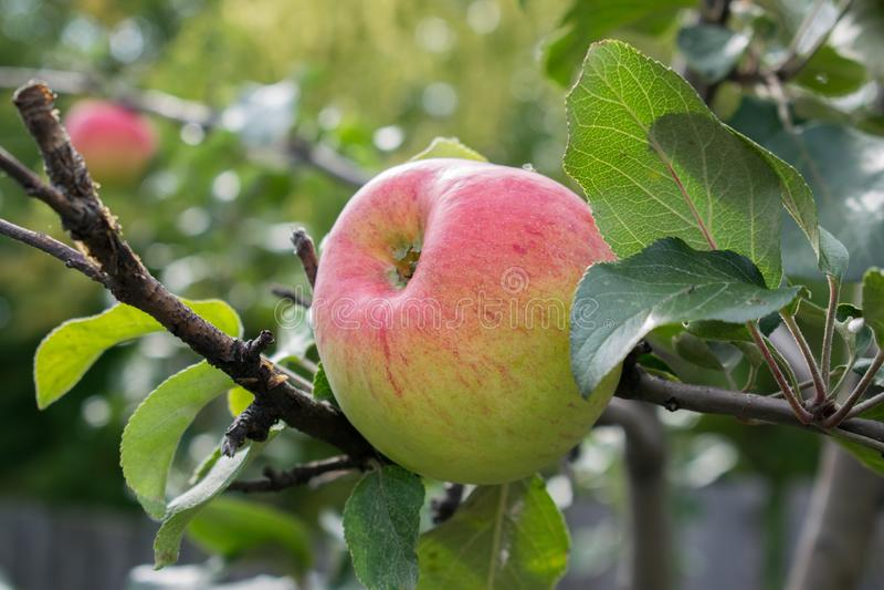 La grande pomme mûre accroche sur une branche photos stock