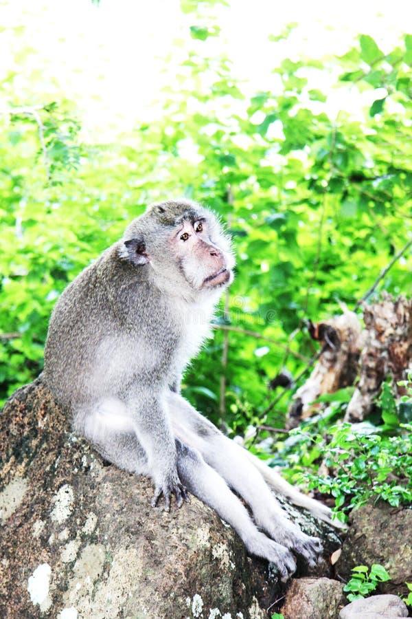 La grande scimmia seria si siede sulla roccia immagini stock libere da diritti