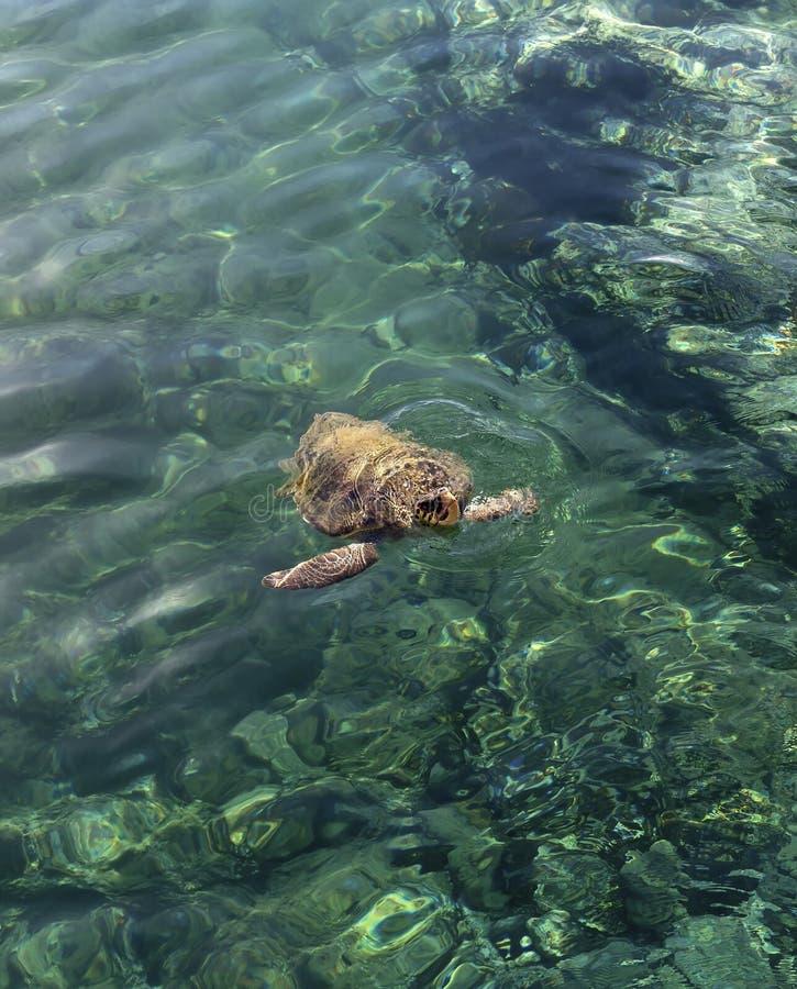 La grande tartaruga nel mare immagine stock