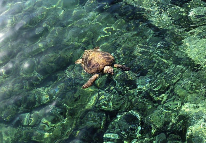 La grande tartaruga nel mare fotografia stock libera da diritti