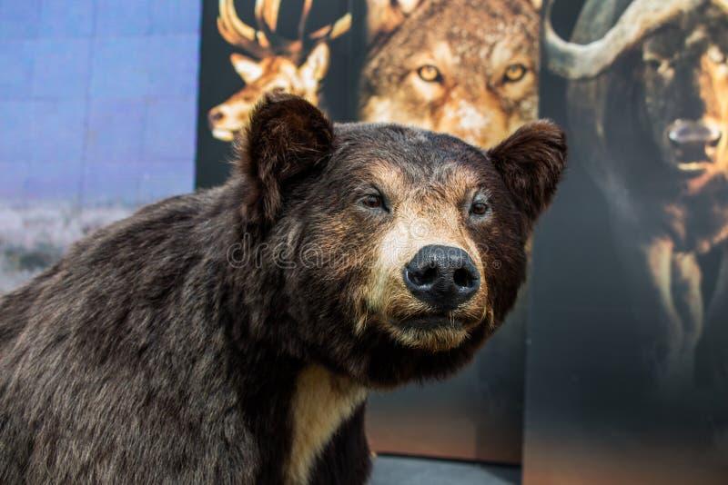 La grande testa farcita dell'orso nero come animale selvatico fotografie stock