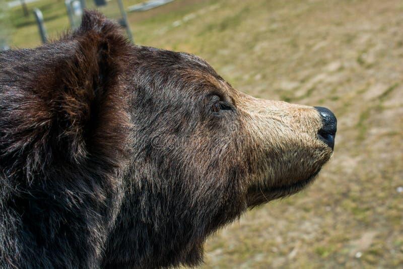 La grande testa farcita dell'orso nero come animale selvatico immagine stock libera da diritti
