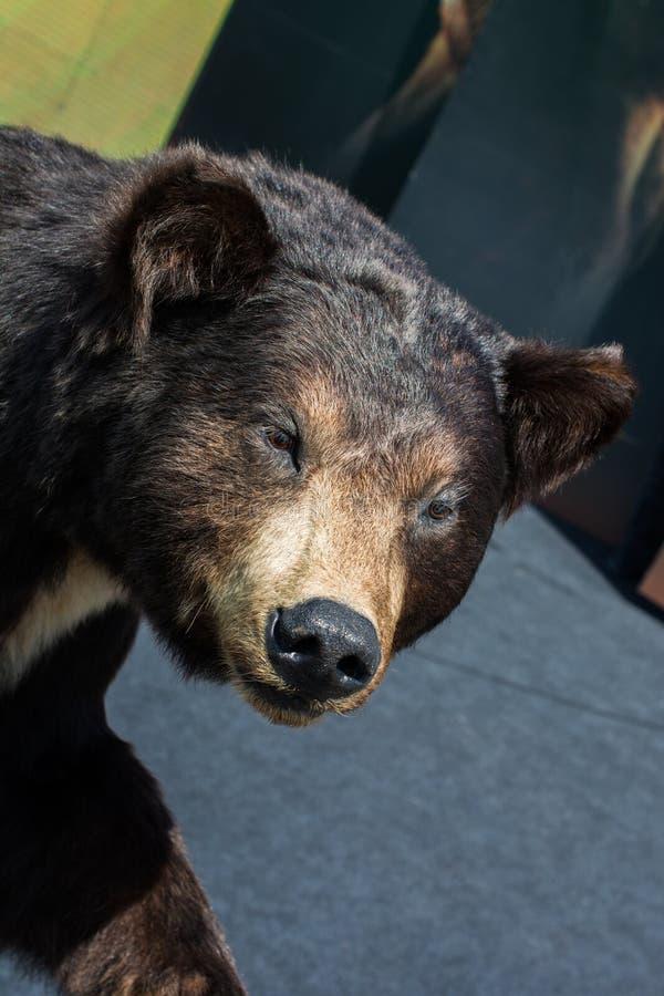 La grande testa farcita dell'orso nero come animale selvatico fotografia stock libera da diritti