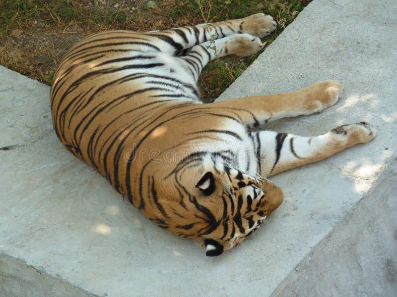 La grande tigre dorme nella tonalità degli alberi fotografie stock