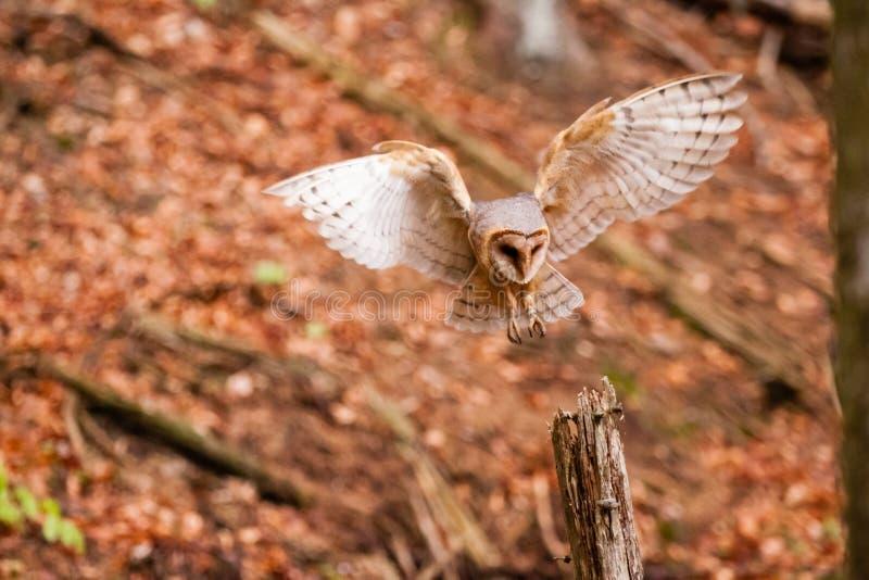 La grange Owl Tyto alba photographie stock libre de droits