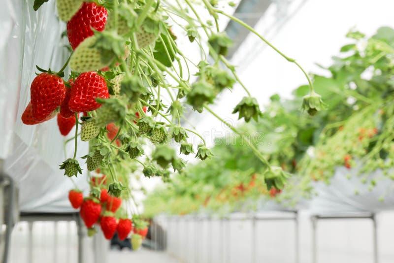 La granja de la cosecha de la fresa imagen de archivo libre de regalías