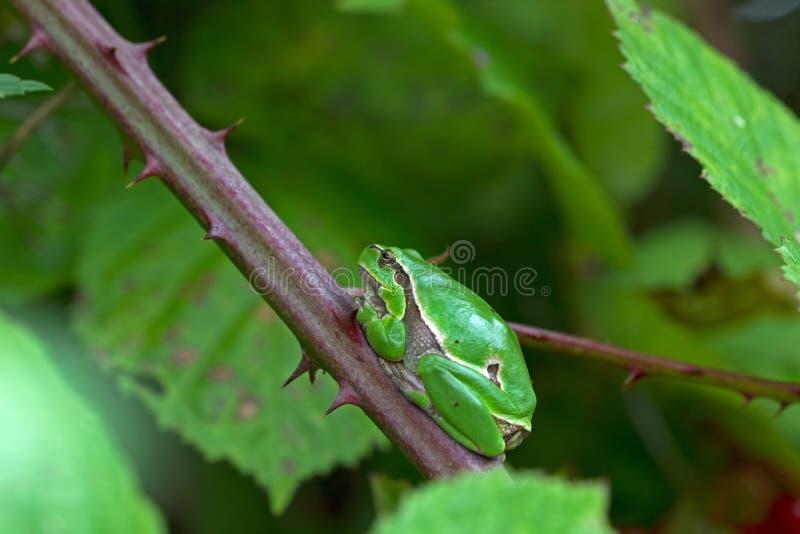 La grenouille d'arbre adulte est dans une mûre photo stock