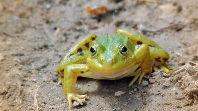 La grenouille d'arbre de marais image stock