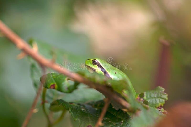 La grenouille d'arbre se repose dans une mûre photographie stock