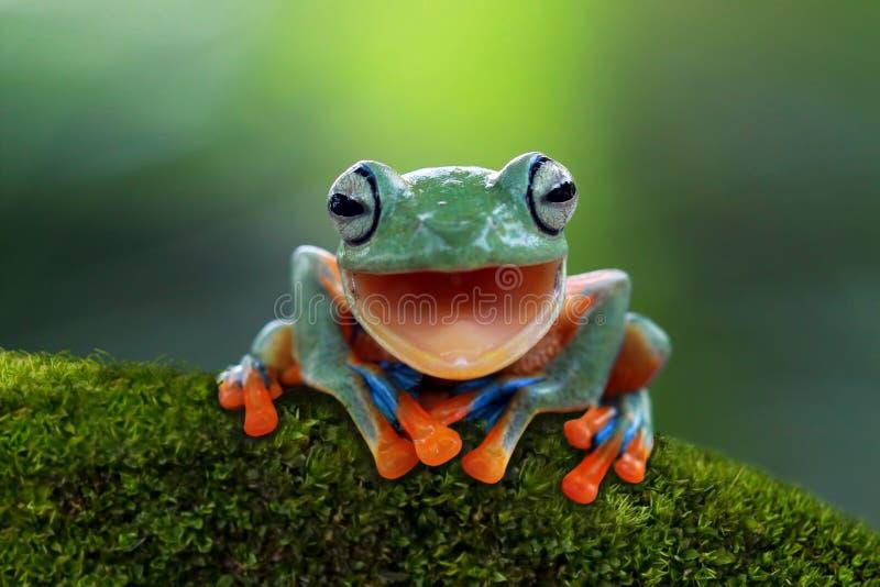 La grenouille d'arbre, grenouille volante ouvrent la bouche image stock