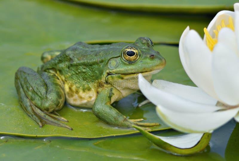 La grenouille de marais se repose sur une lame verte images libres de droits
