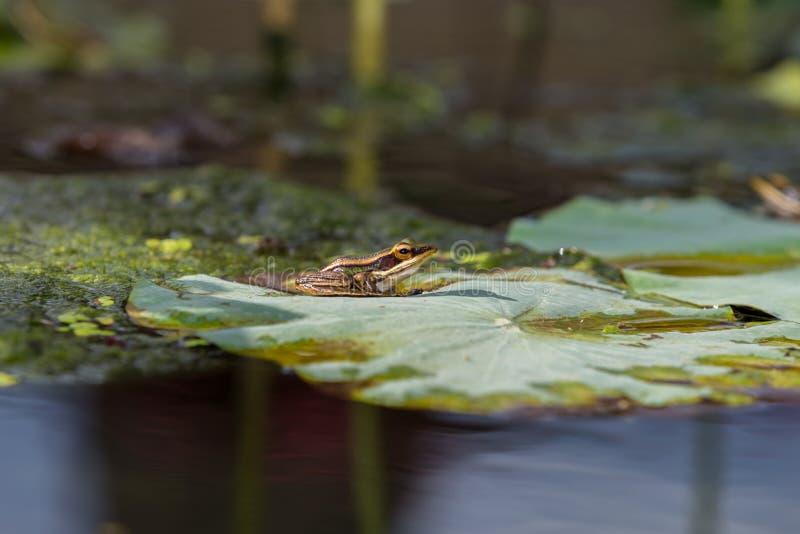 La grenouille est sur la feuille de lotus images stock