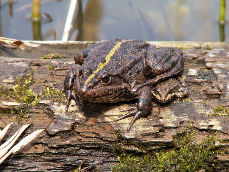 La grenouille, qui se repose sur un arbre photos stock
