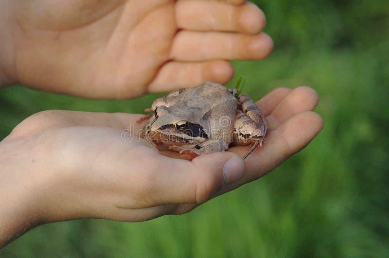 La grenouille se repose en main photo libre de droits
