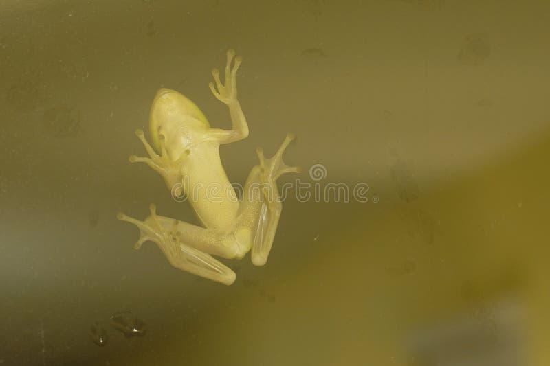 La grenouille sur le verre photo libre de droits