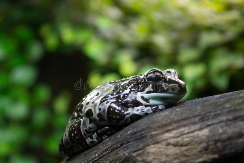 La grenouille tachetée somnole sur une branche sèche d'un arbre photo libre de droits