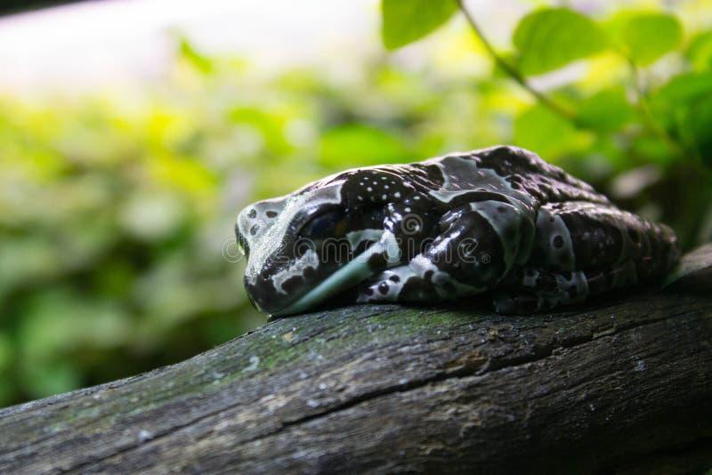 La grenouille tachetée somnole sur une branche sèche d'un arbre image libre de droits