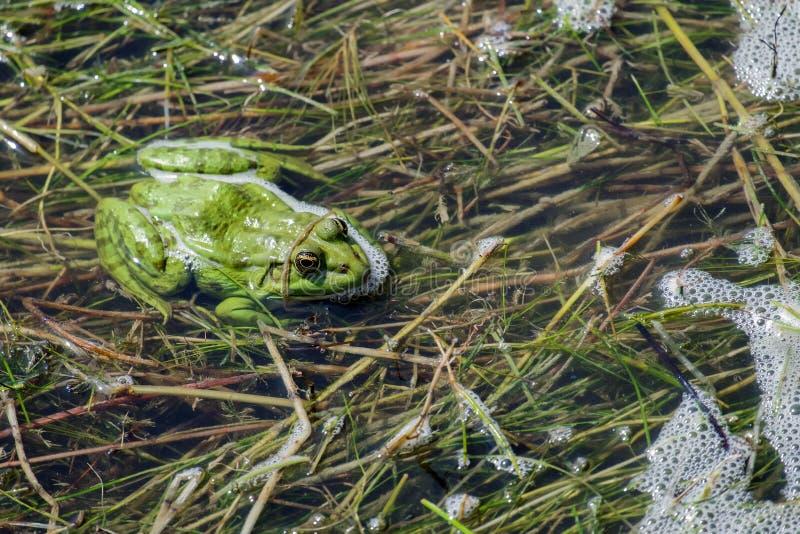 La grenouille vert clair de marais se repose dans les algues du lac photographie stock